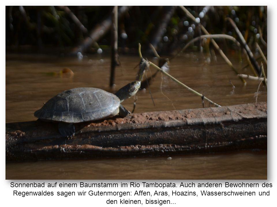 Sonnenbad auf einem Baumstamm im Rio Tambopata. Auch anderen Bewohnern des Regenwaldes sagen wir Gutenmorgen: Affen, Aras, Hoazins, Wasserschweinen un