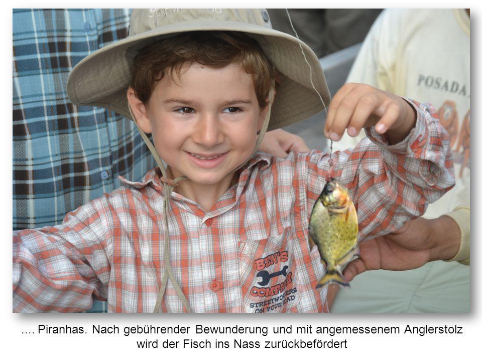 .... Piranhas. Nach gebührender Bewunderung und mit angemessenem Anglerstolz wird der Fisch ins Nass zurückbefördert