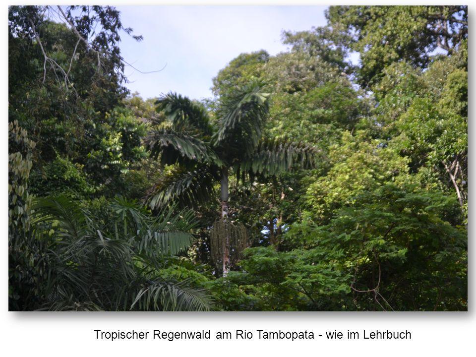 Tropischer Regenwald am Rio Tambopata - wie im Lehrbuch