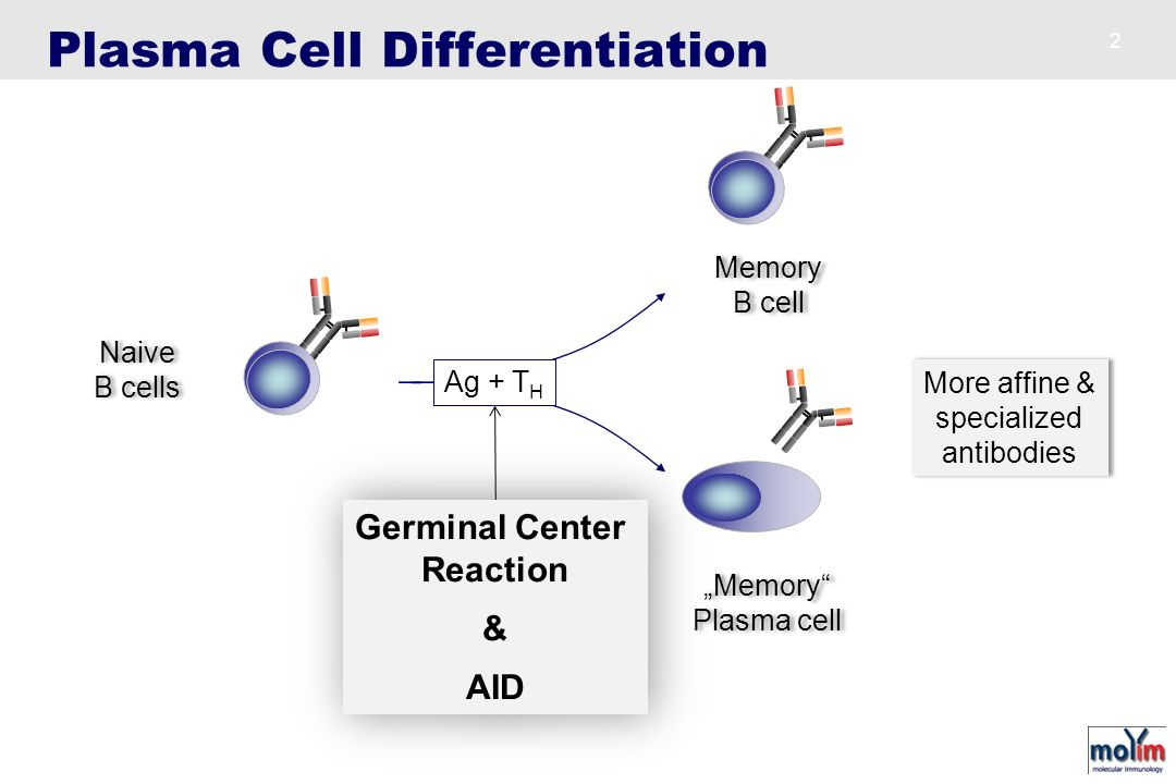 Primary follicle Secondary follicle + Germinal center CXCR5 IgM Antigen +/-T H Expansion IgM Naive B cell focus Short-lived Plasma cell Short-lived Plasma cell Long-lived plasma cells Memory B cell Memory B cell IgG IgA IgE IgG IgA IgE Anatomy of B Cell Response IgD - B cells PNA - GC B cells CD3 - T cells Spleen section - 7 days SRBC B T HEV GC T Cell Zone B Cell Zone +T H