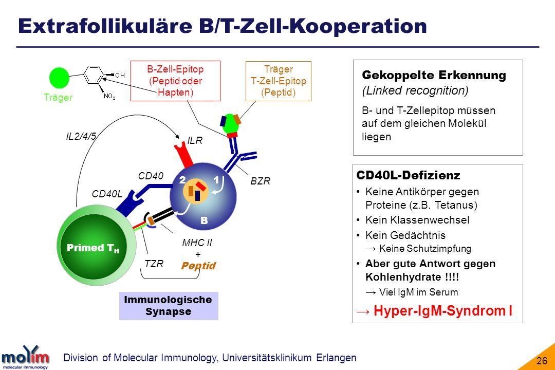 Division of Molecular Immunology, Universitätsklinikum Erlangen 26 Extrafollikuläre B/T-Zell-Kooperation CD40L BZR Immunologische Synapse CD40 IL2/4/5