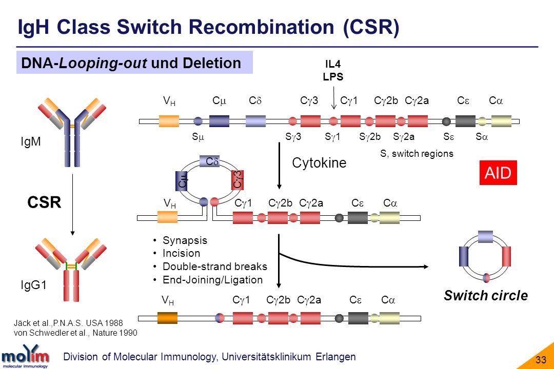Division of Molecular Immunology, Universitätsklinikum Erlangen 33 IgM IgG1 CSR Cytokine V H C C C 3 C 1 C 2b C 2a C C S S 3 S 1 S 2b S 2a S S S, swit