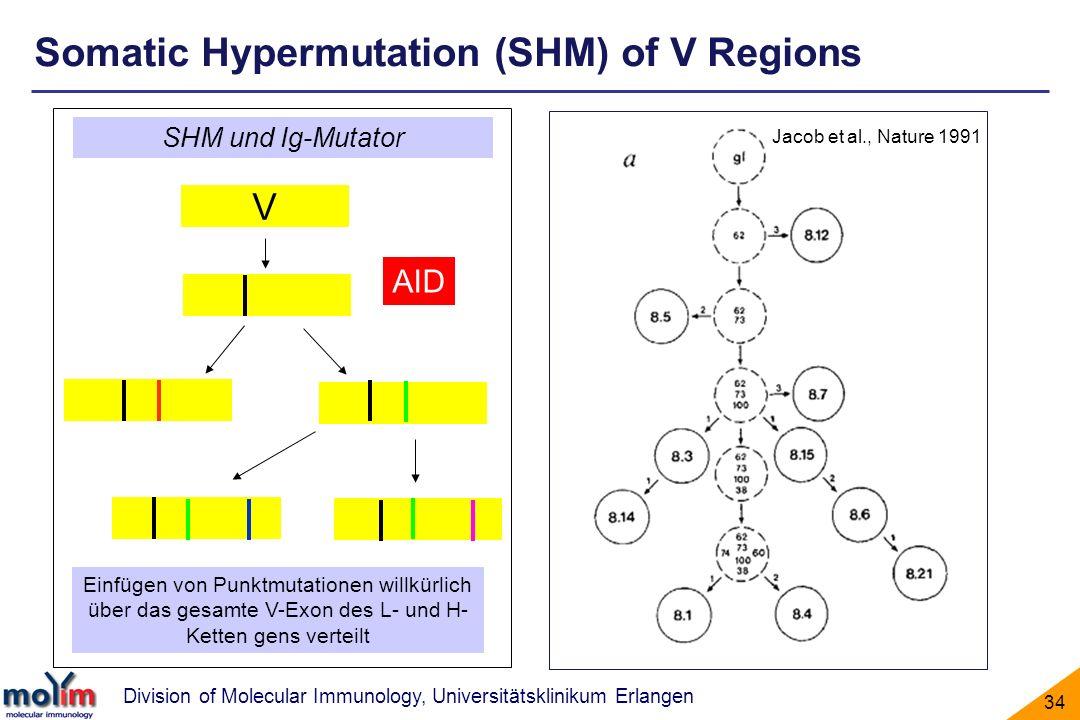 Division of Molecular Immunology, Universitätsklinikum Erlangen 34 Einfügen von Punktmutationen willkürlich über das gesamte V-Exon des L- und H- Kett