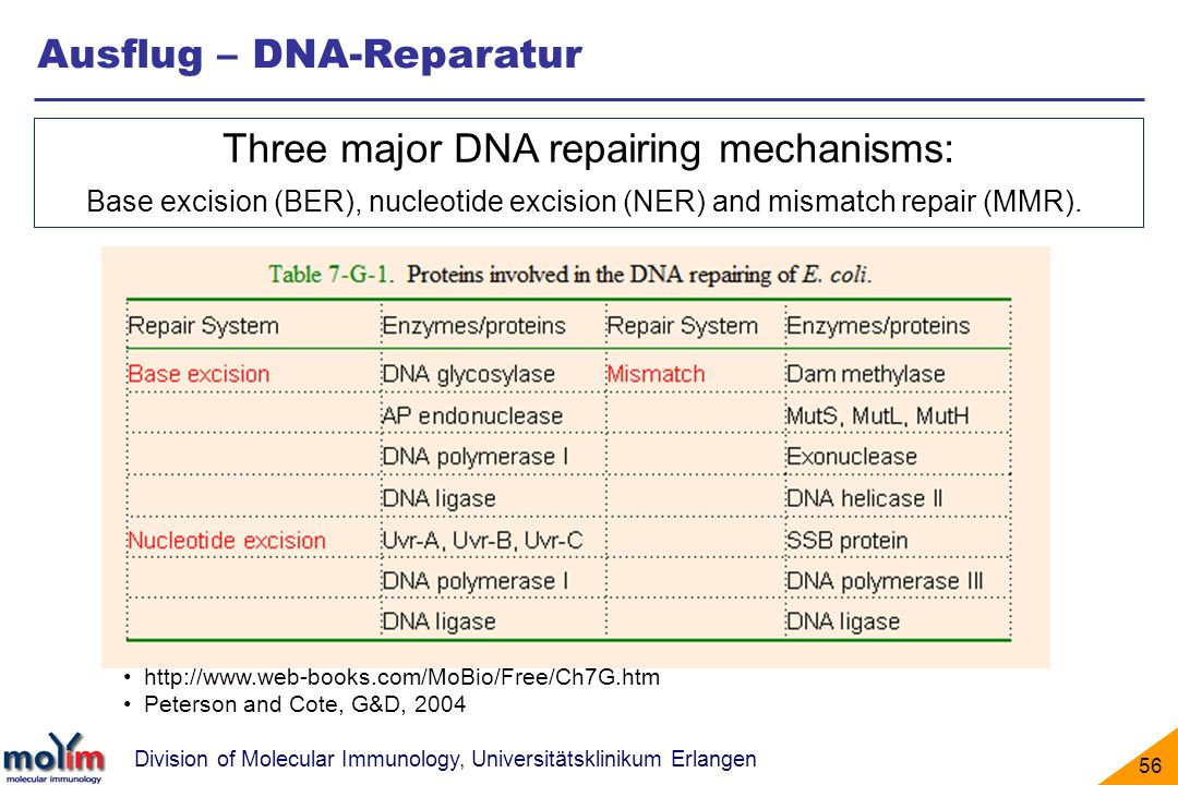 Division of Molecular Immunology, Universitätsklinikum Erlangen 56 Ausflug – DNA-Reparatur http://www.web-books.com/MoBio/Free/Ch7G.htm Peterson and Cote, G&D, 2004 Three major DNA repairing mechanisms: Base excision (BER), nucleotide excision (NER) and mismatch repair (MMR).