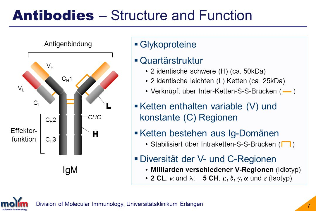 Division of Molecular Immunology, Universitätsklinikum Erlangen 7 L H Glykoproteine Quartärstruktur 2 identische schwere (H) (ca. 50kDa) 2 identische