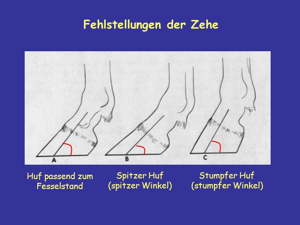 Huf passend zum Fesselstand Spitzer Huf (spitzer Winkel) Stumpfer Huf (stumpfer Winkel)