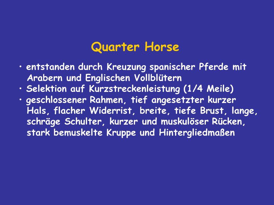 Quarter Horse entstanden durch Kreuzung spanischer Pferde mit Arabern und Englischen Vollblütern Selektion auf Kurzstreckenleistung (1/4 Meile) geschlossener Rahmen, tief angesetzter kurzer Hals, flacher Widerrist, breite, tiefe Brust, lange, schräge Schulter, kurzer und muskulöser Rücken, stark bemuskelte Kruppe und Hintergliedmaßen