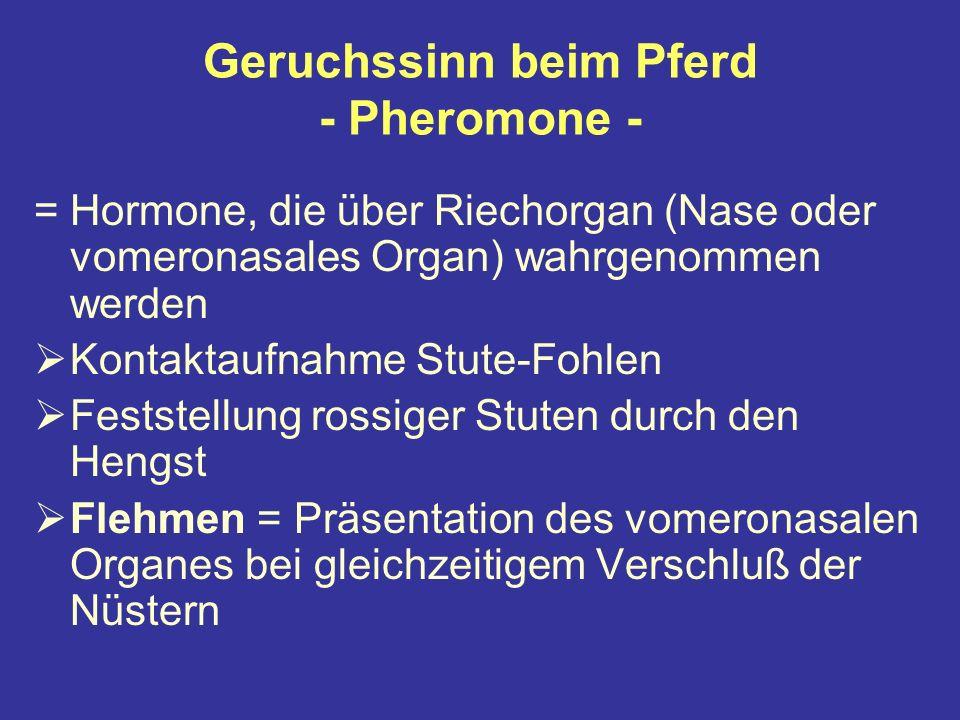 Geruchssinn beim Pferd - Pheromone - =Hormone, die über Riechorgan (Nase oder vomeronasales Organ) wahrgenommen werden Kontaktaufnahme Stute-Fohlen Feststellung rossiger Stuten durch den Hengst Flehmen = Präsentation des vomeronasalen Organes bei gleichzeitigem Verschluß der Nüstern