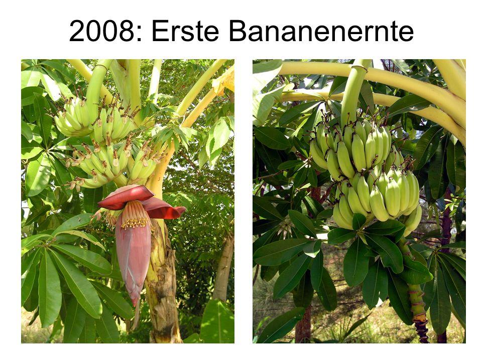 2008: Erste Bananenernte