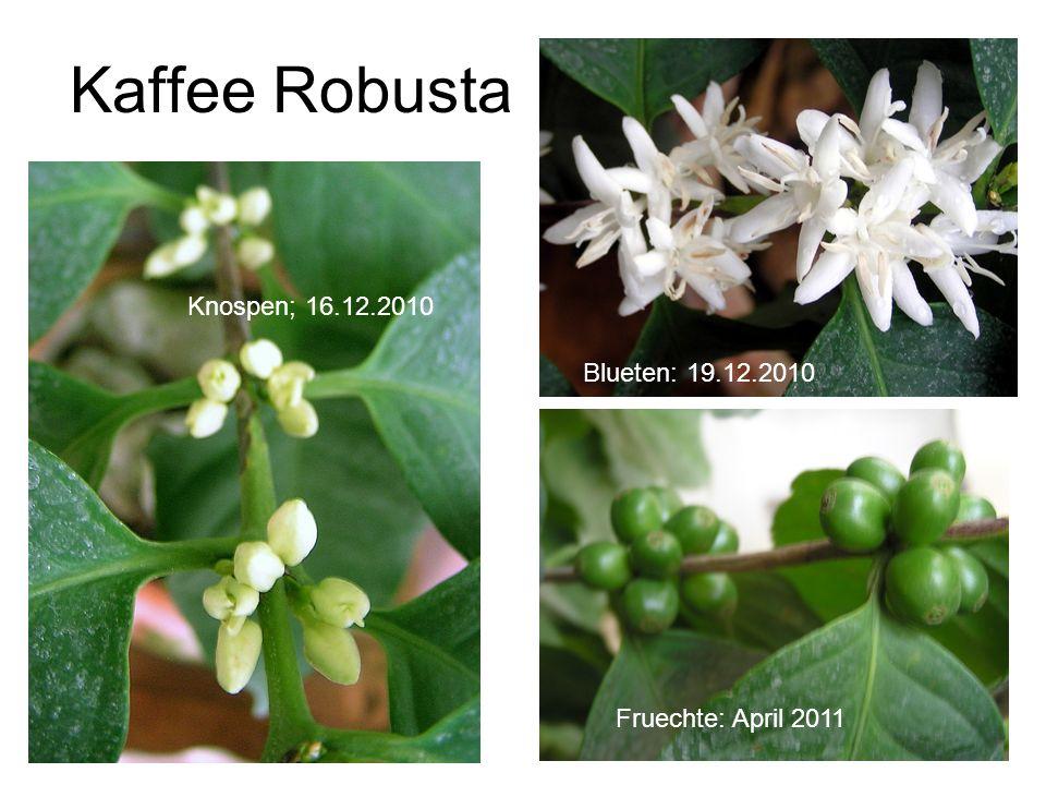 Kaffee Robusta Knospen; 16.12.2010 Blueten: 19.12.2010 Fruechte: April 2011