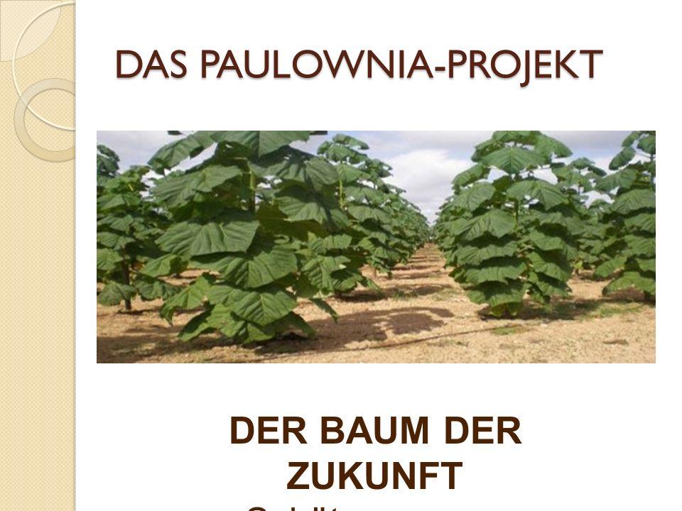 Man kann sehen, wie schnell der Paulownia-Baum wächst.