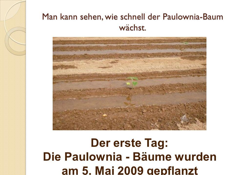 Man kann sehen, wie schnell der Paulownia-Baum wächst. Der erste Tag: Die Paulownia - Bäume wurden am 5. Mai 2009 gepflanzt