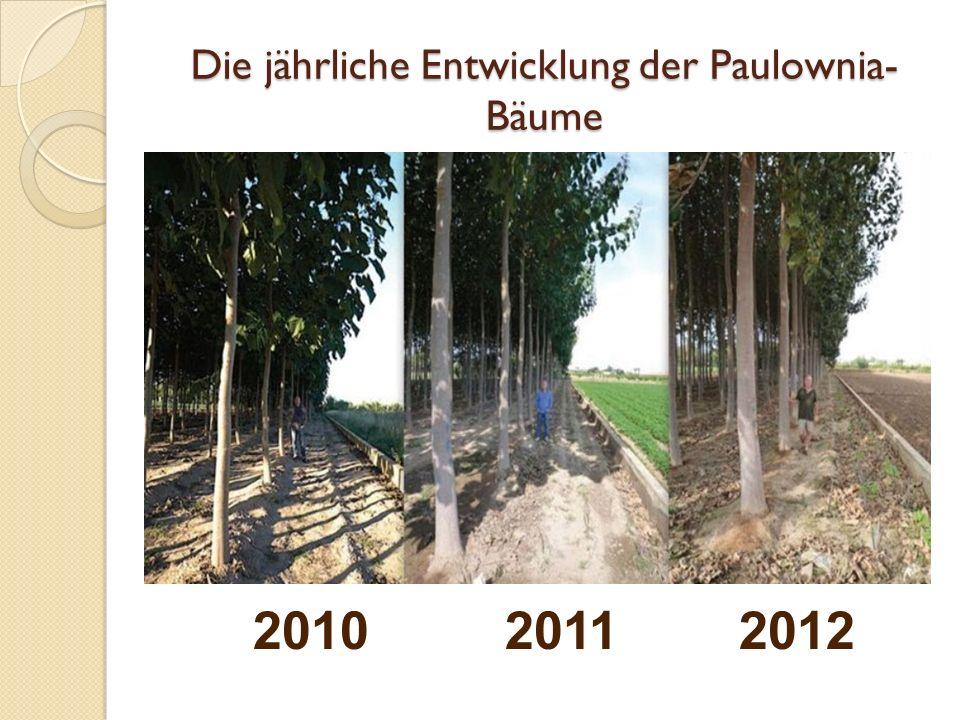 Der erste Schnitt Im Jahr 2012 haben wir ein paar Bäume abgeschnitten und bemerkt, dass die nächste Generation von Paulownia- Bäume in kurzer Zeit die abgeschnitten en Bäume ersetz hat.