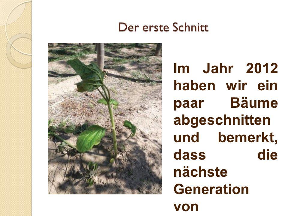 Der erste Schnitt Im Jahr 2012 haben wir ein paar Bäume abgeschnitten und bemerkt, dass die nächste Generation von Paulownia- Bäume in kurzer Zeit die