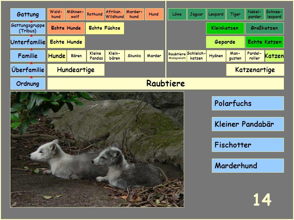 Raubtiere Katzenartige Bären Ordnung Überfamilie Familie Gattungsgruppe (Tribus) Unterfamilie Echte Katzen Marder Hundeartige Skunks Echte HundeGepard