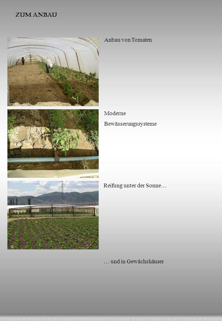 Zum Anbau Anbau von Tomaten Moderne Bewässerungssysteme Reifung unter der Sonne… … und in Gewächshäuser