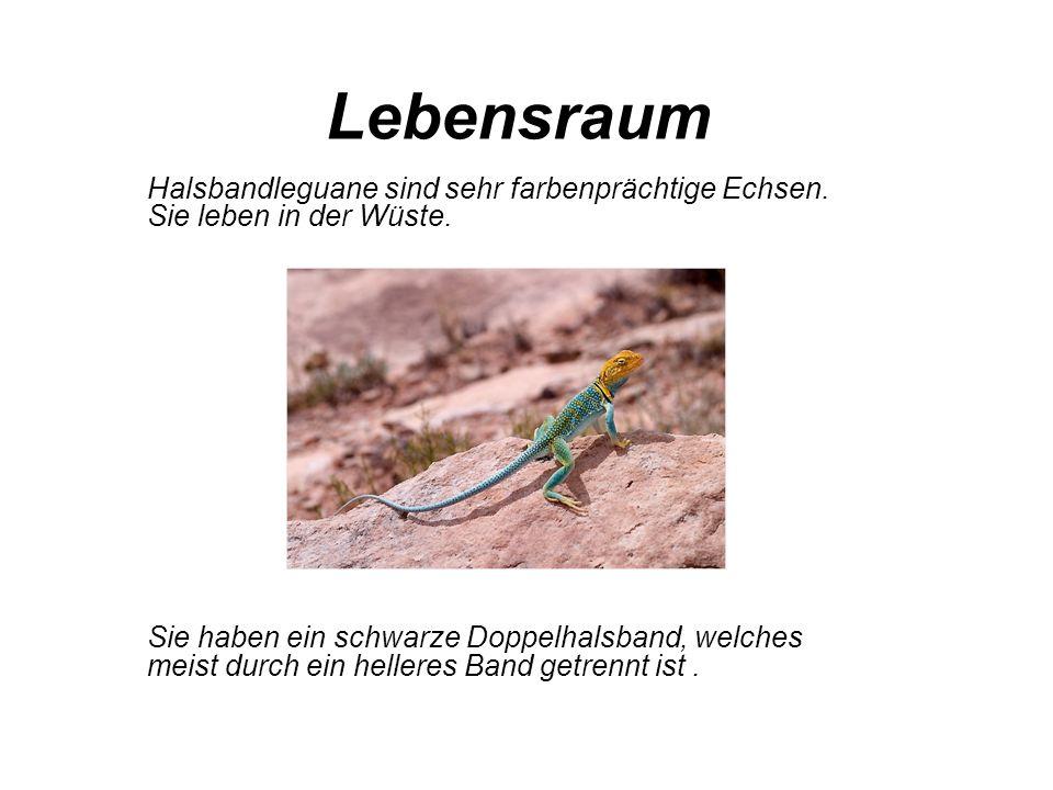 Beschreibung Die Grundfarbe der Halsbandleguan reichen von gelb bis brau und manchmal sogar grün.