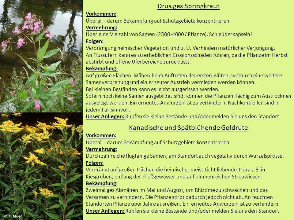 Drüsiges Springkraut Vorkommen: Überall - darum Bekämpfung auf Schutzgebiete konzentrieren Vermehrung: Über eine Vielzahl von Samen (2500-4000 / Pflanze).