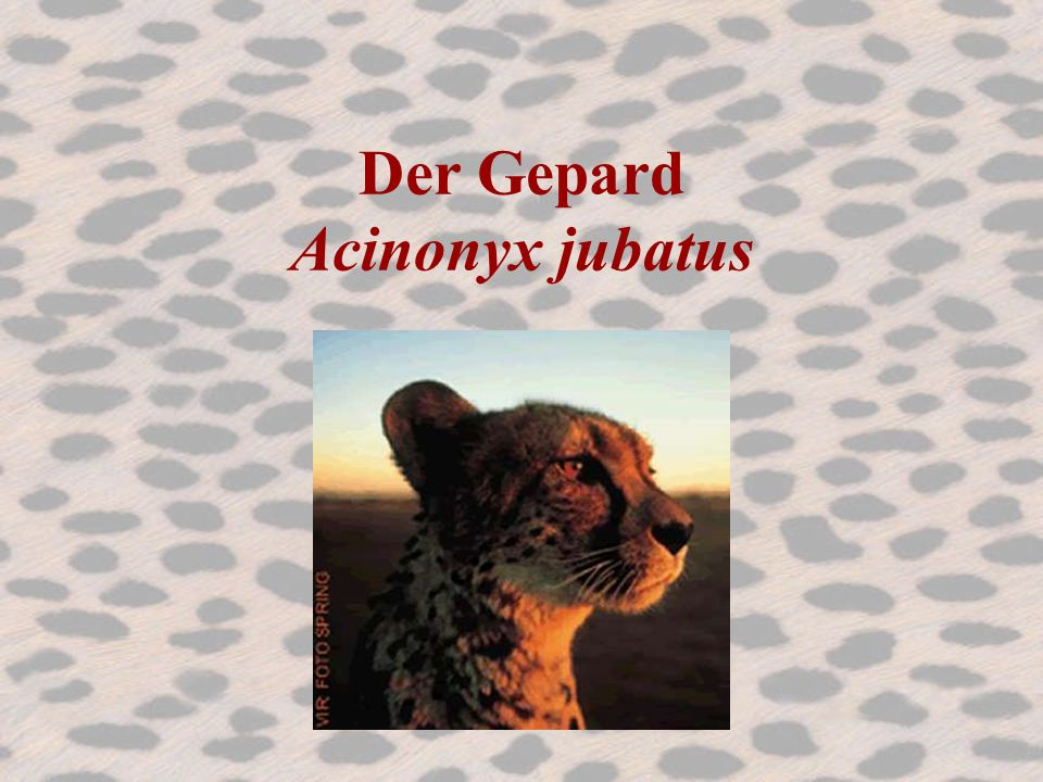 Der Gepard Acinonyx jubatus