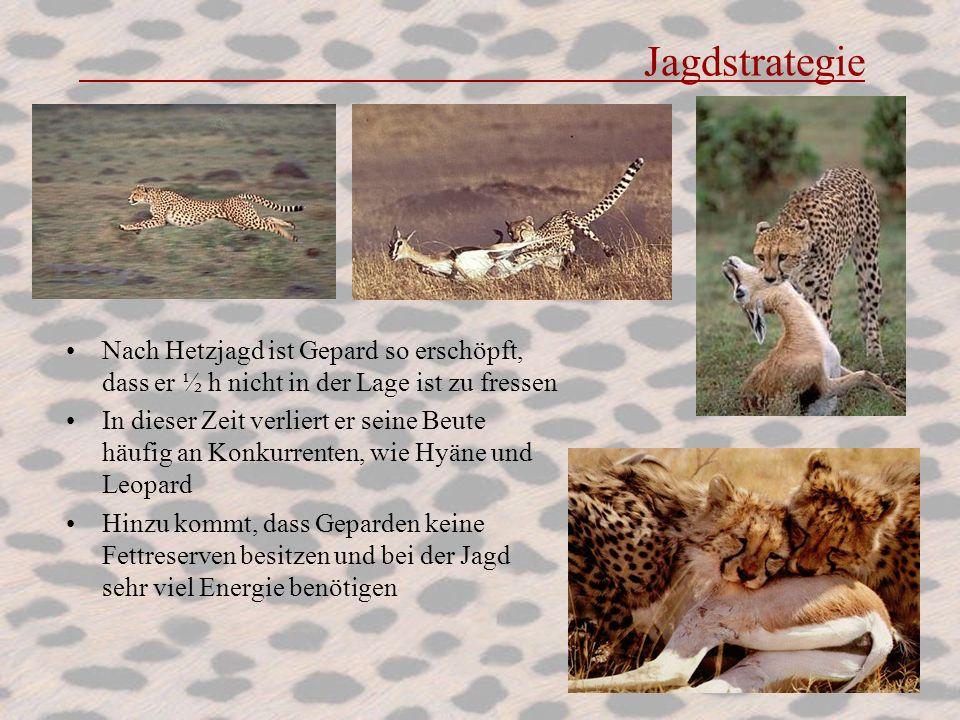 Jagdstrategie Nach Hetzjagd ist Gepard so erschöpft, dass er ½ h nicht in der Lage ist zu fressen In dieser Zeit verliert er seine Beute häufig an Kon