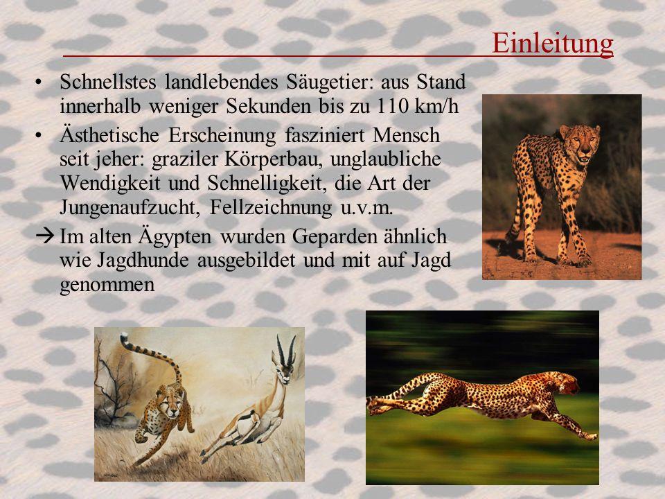 Einleitung Schnellstes landlebendes Säugetier: aus Stand innerhalb weniger Sekunden bis zu 110 km/h Ästhetische Erscheinung fasziniert Mensch seit jeh
