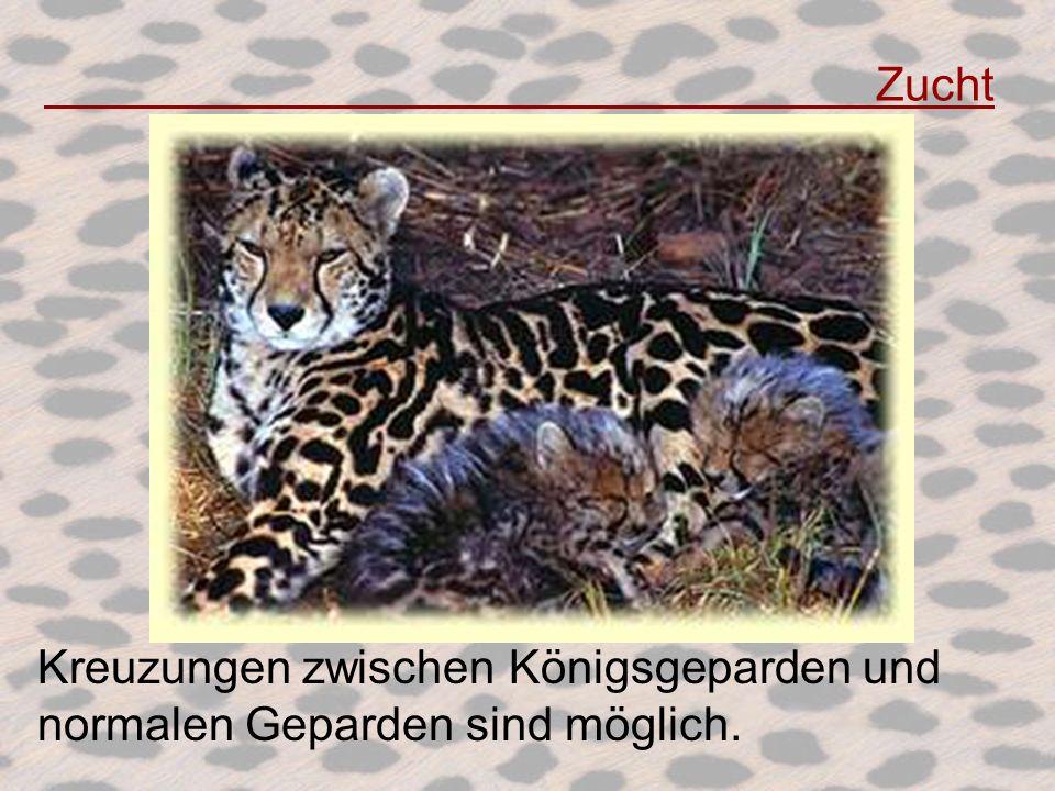 Zucht Kreuzungen zwischen Königsgeparden und normalen Geparden sind möglich.