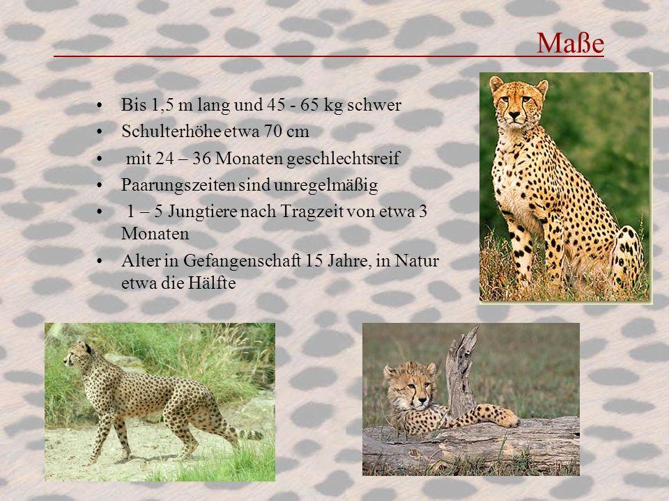 Maße Bis 1,5 m lang und 45 - 65 kg schwer Schulterhöhe etwa 70 cm mit 24 – 36 Monaten geschlechtsreif Paarungszeiten sind unregelmäßig 1 – 5 Jungtiere
