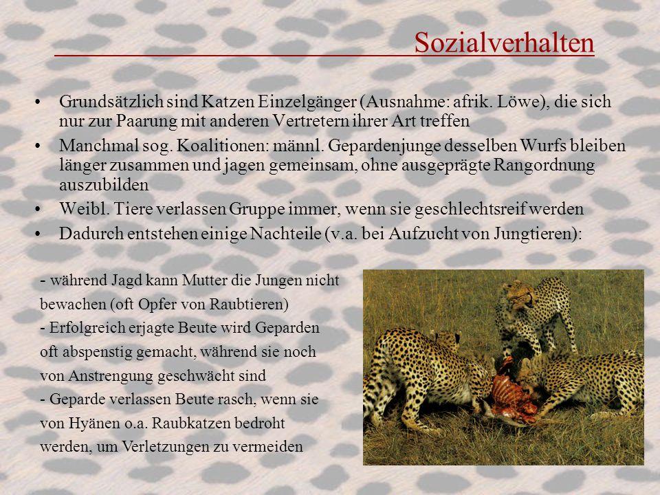 Sozialverhalten Grundsätzlich sind Katzen Einzelgänger (Ausnahme: afrik. Löwe), die sich nur zur Paarung mit anderen Vertretern ihrer Art treffen Manc