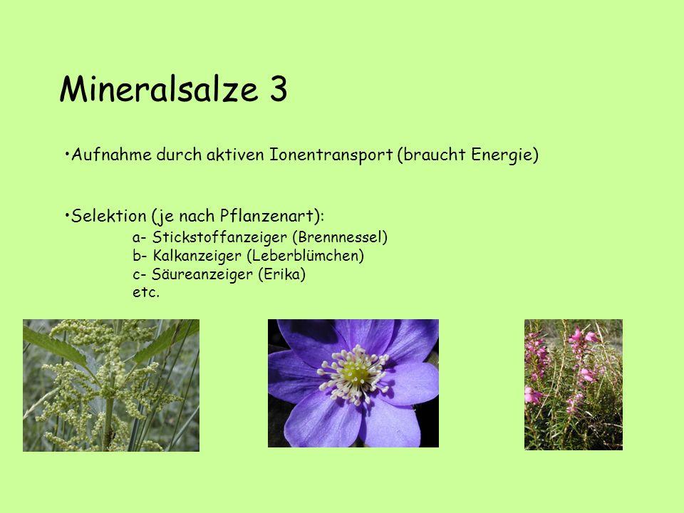 Mineralsalze 3 Aufnahme durch aktiven Ionentransport (braucht Energie) Selektion (je nach Pflanzenart): a- Stickstoffanzeiger (Brennnessel) b- Kalkanzeiger (Leberblümchen) c- Säureanzeiger (Erika) etc.