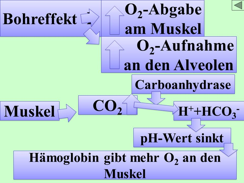 Bohreffekt O 2 -Abgabe am Muskel O 2 -Aufnahme an den Alveolen O 2 -Aufnahme an den Alveolen Muskel CO 2 Carboanhydrase H + +HCO 3 - pH-Wert sinkt Häm
