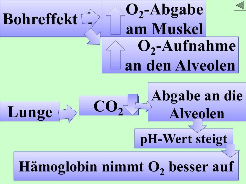 Bohreffekt O 2 -Abgabe am Muskel O 2 -Aufnahme an den Alveolen O 2 -Aufnahme an den Alveolen Lunge CO 2 Abgabe an die Alveolen pH-Wert steigt Hämoglob