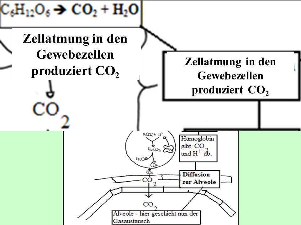 Zellatmung in den Gewebezellen produziert CO 2