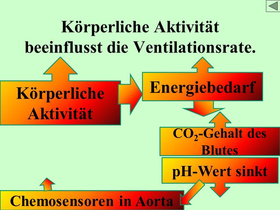Körperliche Aktivität beeinflusst die Ventilationsrate. Körperliche Aktivität Energiebedarf CO 2 -Gehalt des Blutes pH-Wert sinkt Chemosensoren in Aor