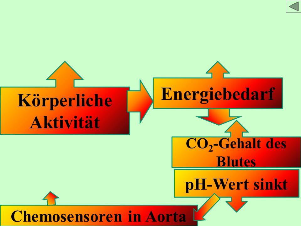 Körperliche Aktivität Energiebedarf CO 2 -Gehalt des Blutes pH-Wert sinkt Chemosensoren in Aorta