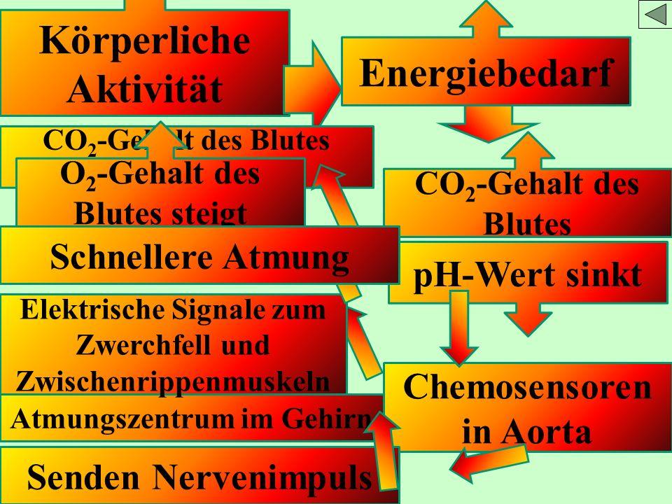 Körperliche Aktivität Energiebedarf CO 2 -Gehalt des Blutes pH-Wert sinkt Chemosensoren in Aorta Senden Nervenimpuls Atmungszentrum im Gehirn Elektris