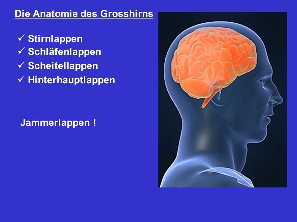 14 Die Anatomie des Grosshirns Stirnlappen Schläfenlappen Scheitellappen Hinterhauptlappen Jammerlappen !