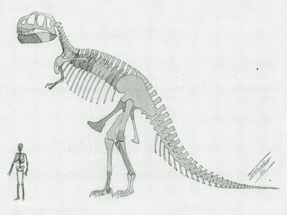 Die Zähne des Tyrannosaurus Rex sind abgerundet.