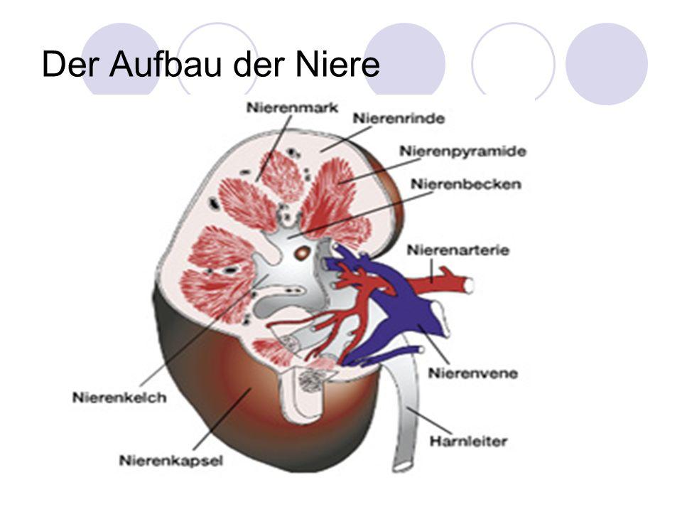 Der Aufbau der Niere