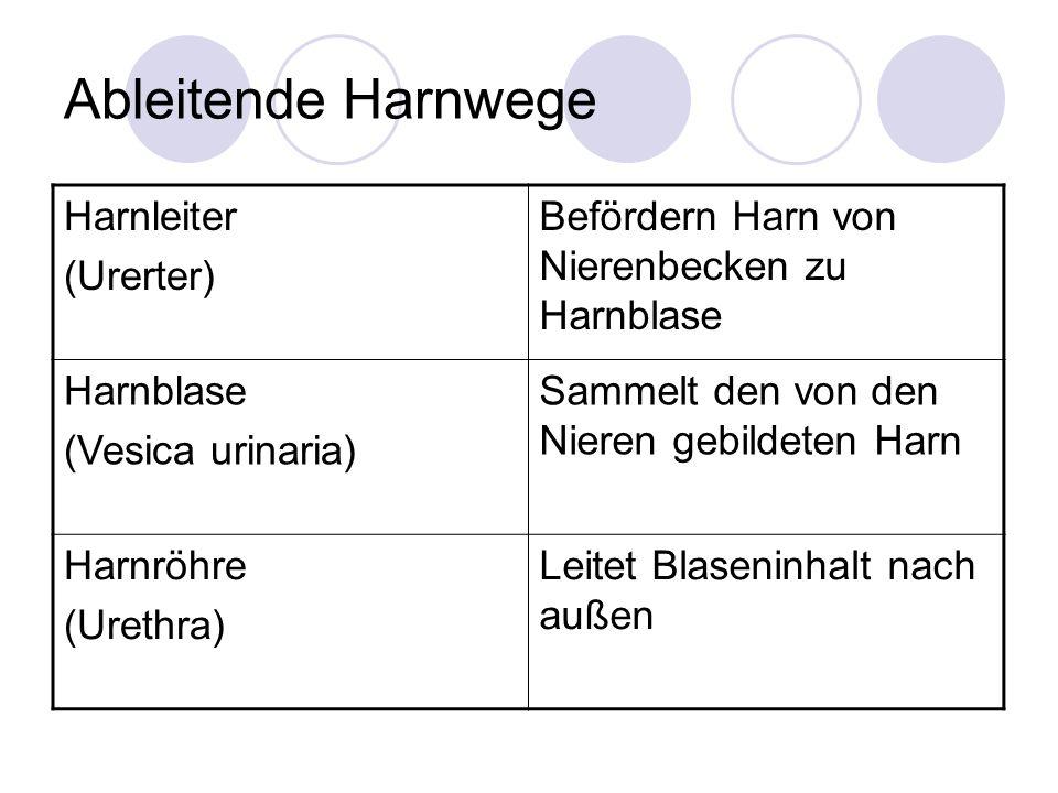 Ableitende Harnwege Harnleiter (Urerter) Befördern Harn von Nierenbecken zu Harnblase Harnblase (Vesica urinaria) Sammelt den von den Nieren gebildete