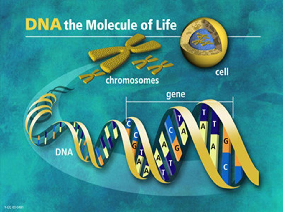 DNA als Erbsubstanz DNA (Desoxyribonukleinsäure) Träger der Erbsubstanz Informationen im genetischen Code verschlüsselt Makromolekül besteht aus den chemischen Elementen Kohlenstoff, Wasserstoff, Suaerstoff, Phosphor und Stickstoff