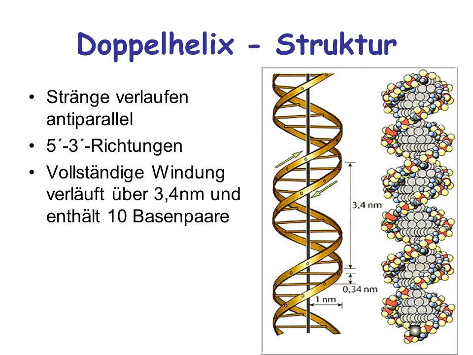 Doppelhelix - Struktur Stränge verlaufen antiparallel 5´-3´-Richtungen Vollständige Windung verläuft über 3,4nm und enthält 10 Basenpaare