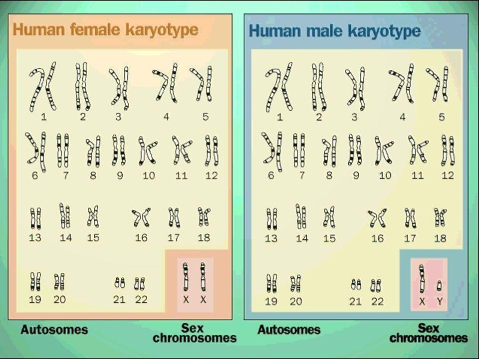 Realer männlicher Karyotyp
