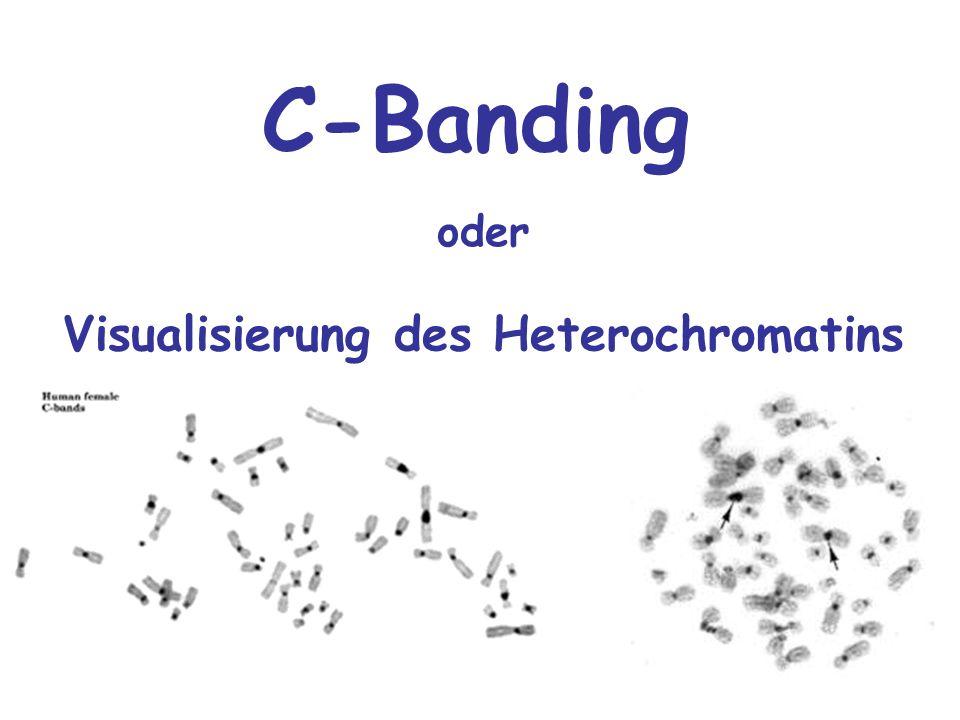 Visualisierung des Heterochromatins oder C-Banding