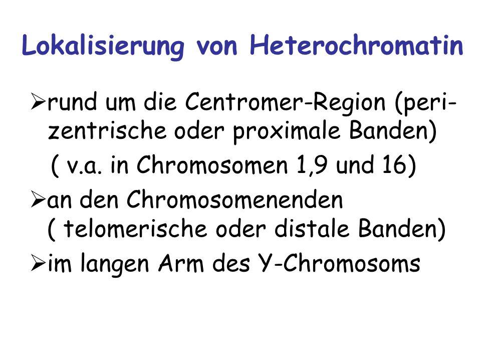 Lokalisierung von Heterochromatin rund um die Centromer-Region (peri- zentrische oder proximale Banden) ( v.a. in Chromosomen 1,9 und 16) an den Chrom