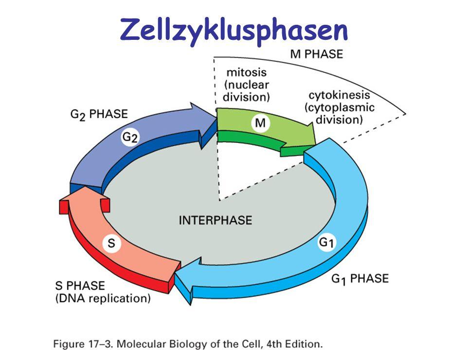 Zellzyklusphasen