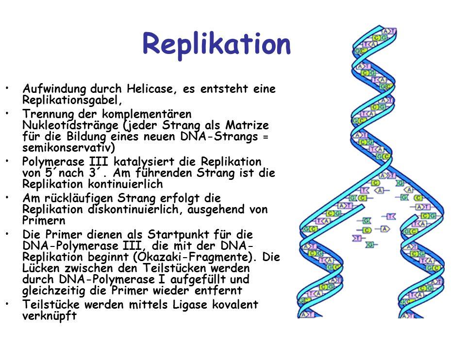 Replikation Aufwindung durch Helicase, es entsteht eine Replikationsgabel, Trennung der komplementären Nukleotidstränge (jeder Strang als Matrize für