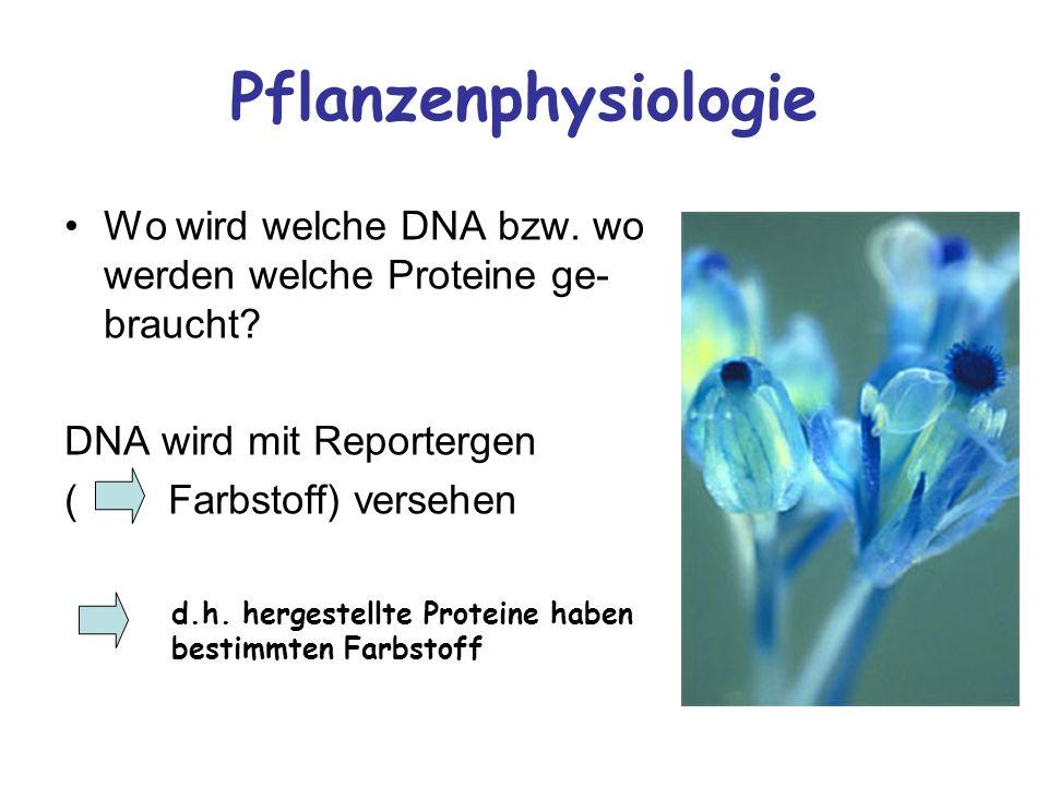 Pflanzenphysiologie Wo wird welche DNA bzw. wo werden welche Proteine ge- braucht? DNA wird mit Reportergen ( Farbstoff) versehen d.h. hergestellte Pr
