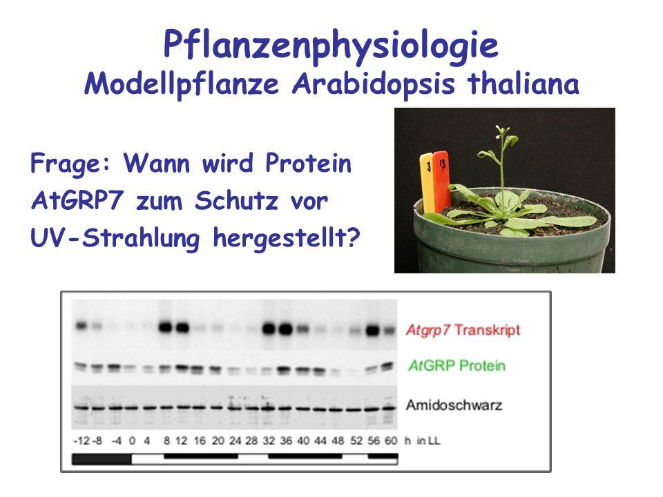 Pflanzenphysiologie Modellpflanze Arabidopsis thaliana Frage: Wann wird Protein AtGRP7 zum Schutz vor UV-Strahlung hergestellt?