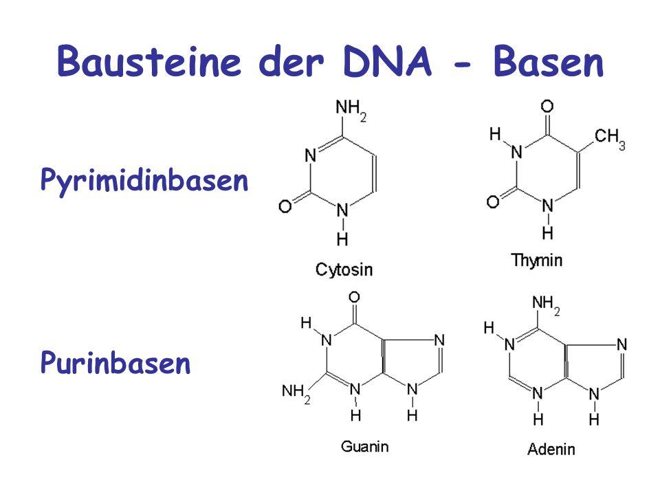 Bausteine der DNA - Basen Purinbasen Pyrimidinbasen