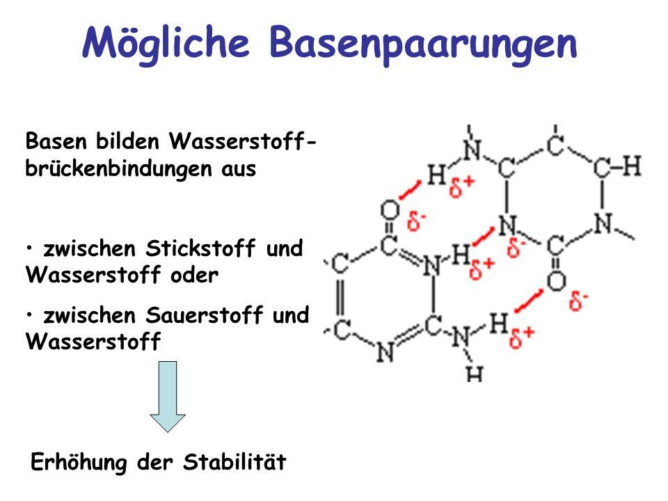 Mögliche Basenpaarungen Basen bilden Wasserstoff- brückenbindungen aus zwischen Stickstoff und Wasserstoff oder zwischen Sauerstoff und Wasserstoff Er